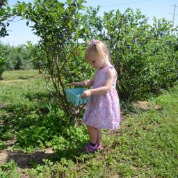 Blueberry Picking and a Few Recipes
